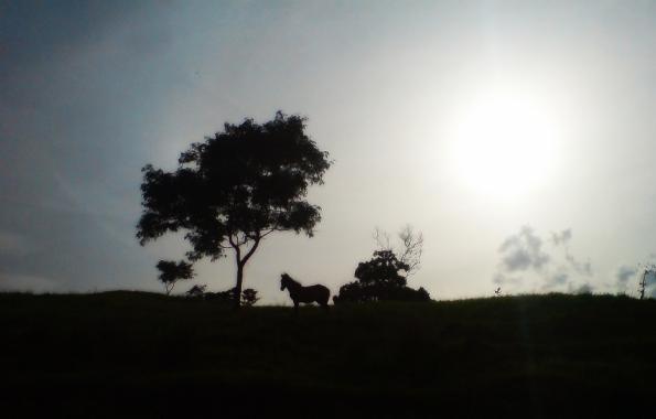 Kuda liar Tambora